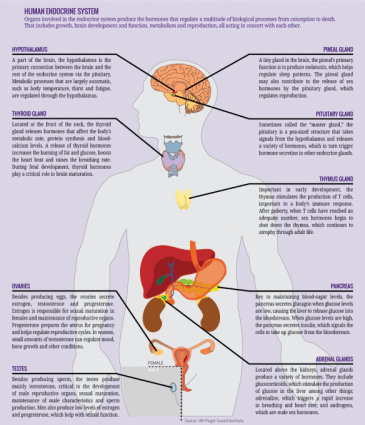 human endocrine system chart